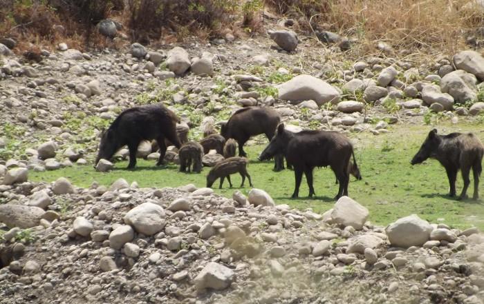 משפחה של חזירי בר מבט מהג׳יפ של פלגי בזלת
