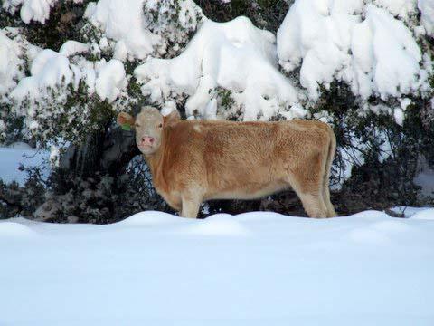 פרה בשלג בצפון הרמה בטיולי השלג של פלגי בזלת
