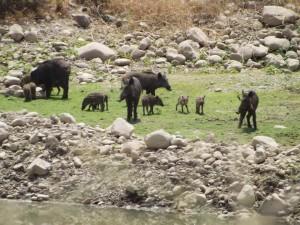 משפחה גדולה של חזירי בר מטיילת בגולן ליד הג׳יפים של פלגי בזלת