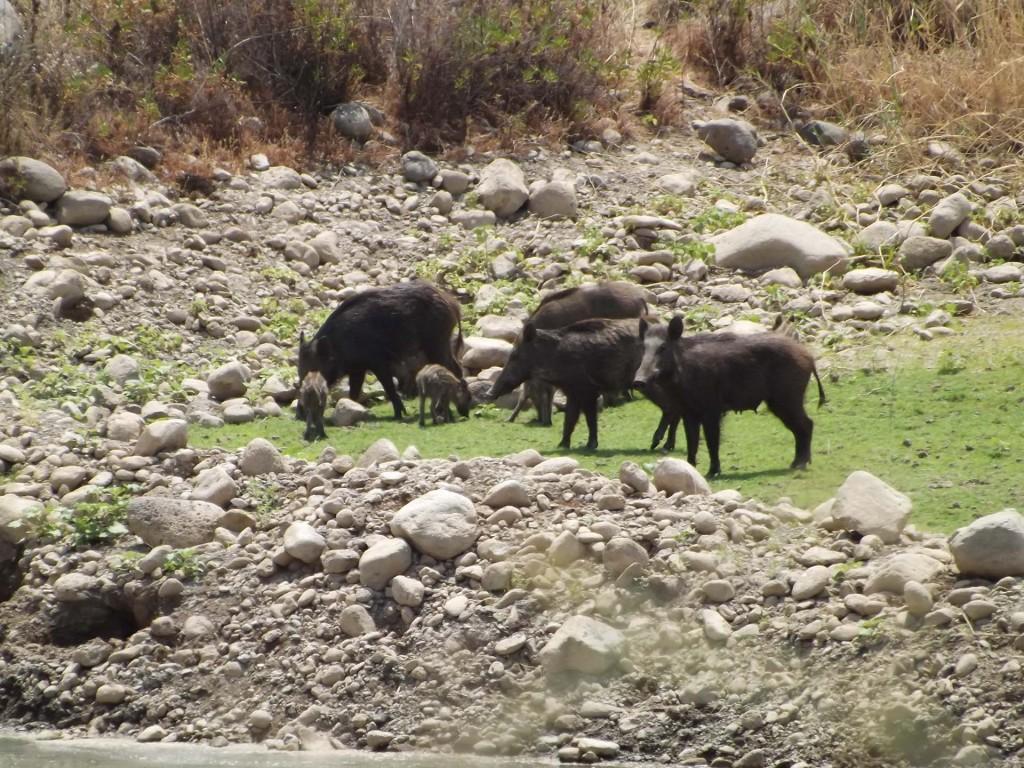 משפחה של חזירי בר מסתובבת בצפון הארץ בטיול ג׳יפים של פלגי בזלת