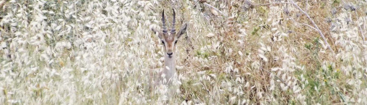 הטבע הפראי, צבי מציץ בין העשב הגבוהה נפגש איתנו בטיול ג'יפים של פלגי בזלת