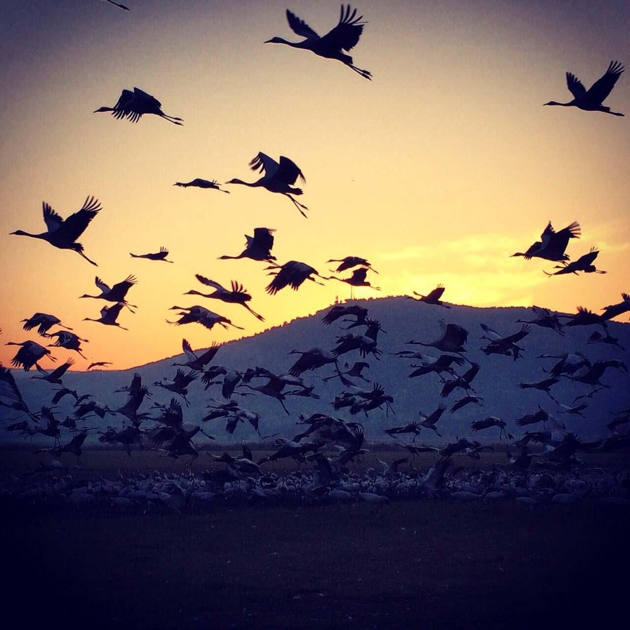 להקת עגורים ממריאה בטיול הזריחה למשפחות של פלגי בזלת