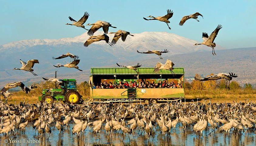 טיול ג׳יפים לאגמון החולה לצפייה בציפורים נודדות פלגי בזלת