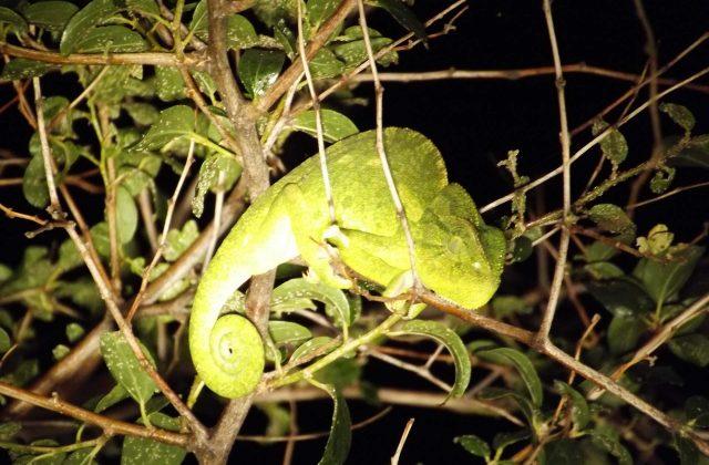 זיקית על העץ בספארי לילה פלגי בזלת
