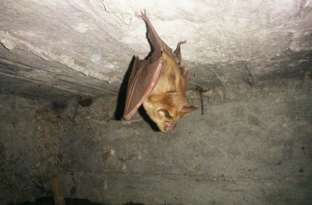 עטלף תלוי הפוך במערה נמצא בטיולי הג'יפים של פלגי בזלת