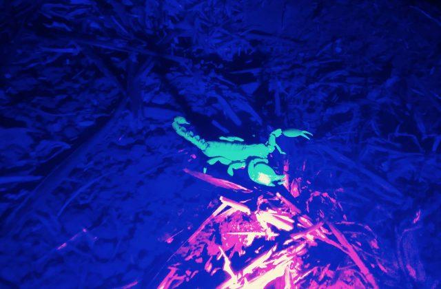 עקרב בתאורת לילה אולטרה סגולה מיוחדת בג'יפ של אבנר בספרי לילה פלגי בזלת